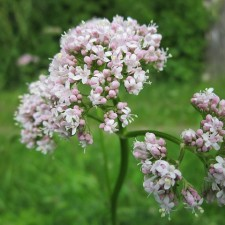 Herb highlight Valerian
