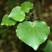 NZ Native Plant Remedies